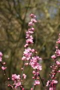 prunus-amygdalopersica-spring-glow-cece0903201