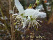 prunus-baoxing-cece-bencho1303104-2