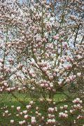 magnolia-bjuv-herkenrode090405-08