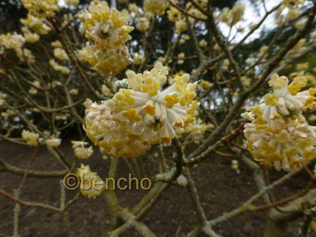 edgeworthia-chrysantha1