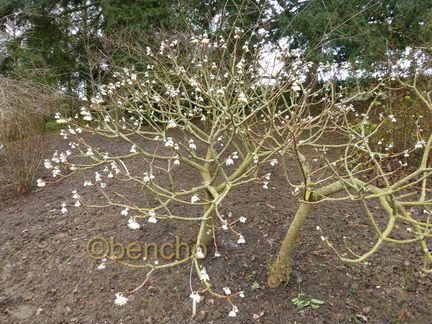 edgeworthia-chrysantha2