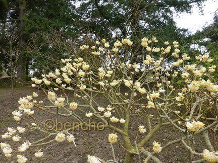 edgeworthia-chrysantha5