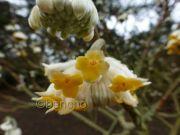 edgeworthia-chrysantha4