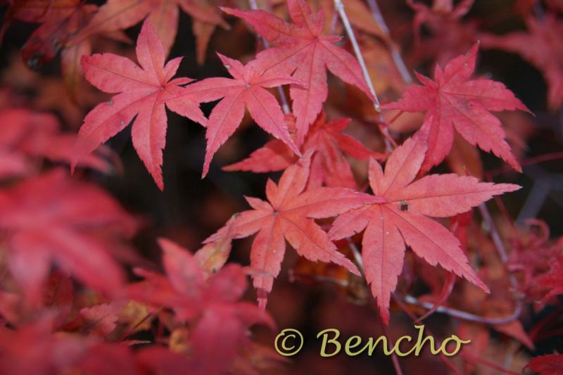 acer-palmatum-beni-maiko-cece-bencho0910261-2