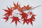 acer-palmatum-katsura-cece-bencho0910198