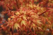 acer-palmatum-katsura-cece090403-4redimensionner