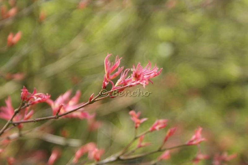 acer-palmatum-beni-tsukasa-cece-bencho0904032