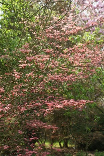 acer-palmatum-beni-tsukasa-cecegarden090415