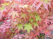 acer-palmatum-beni-tsukasa-cece-bencho091012