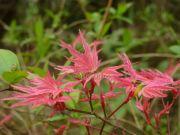 acer-palmatum-beni-tsukasa-cece-bencho1504133