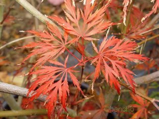 Acer palmatum 'Alloys'