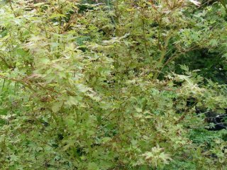 Acer palmatum 'Berry Broom'
