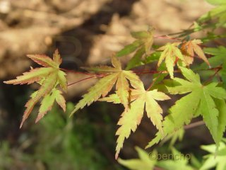 Acer palmatum 'Collinwood Ingram'