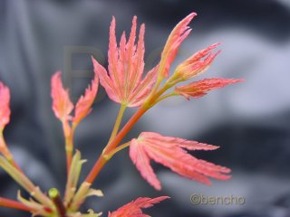Acer palmatum 'Coral Pink'