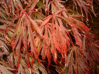 Acer palmatum 'Crimson Queen'